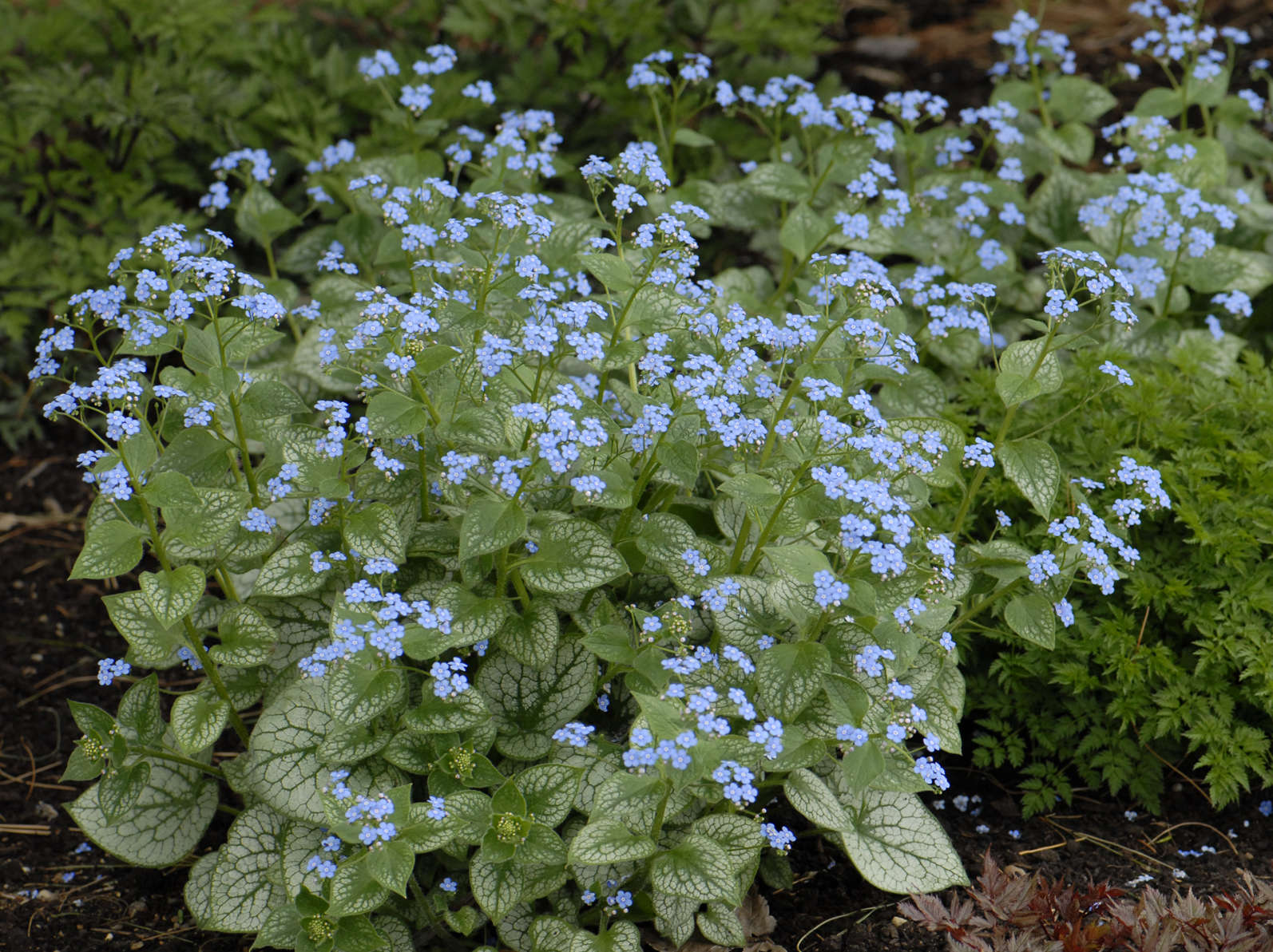 2012 Perennial Plant Of The Year Brunnera M Jack Frost