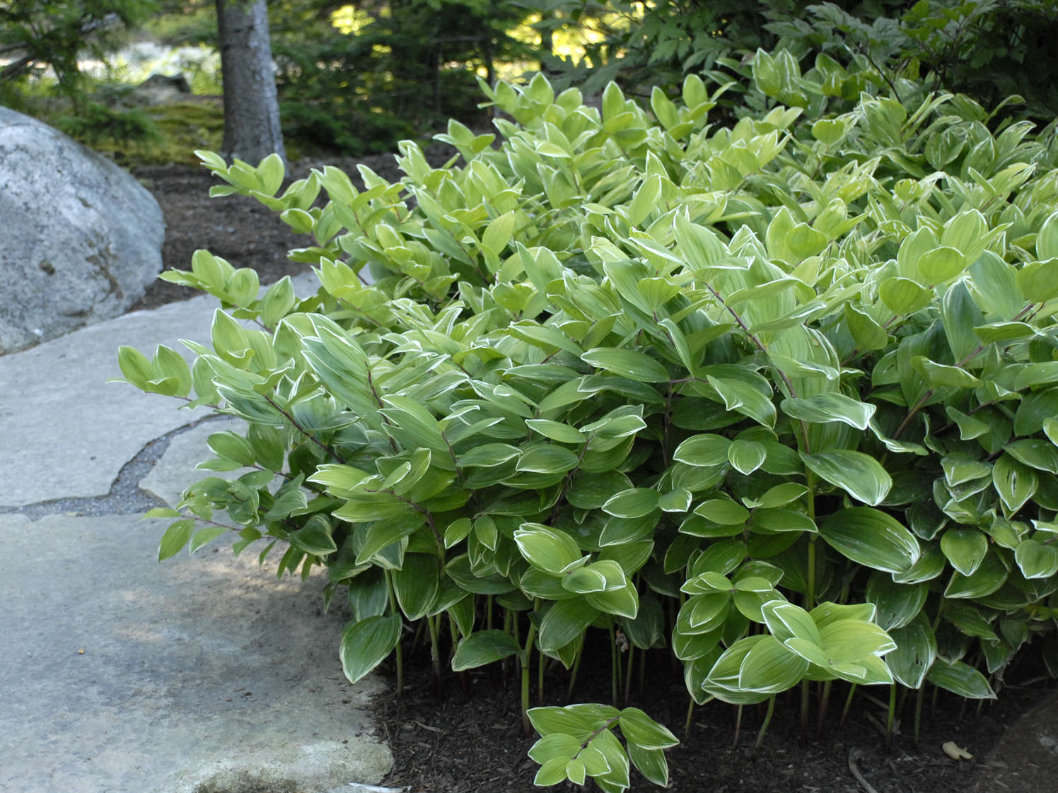 2013 Perennial Plant of the Year — Polygonatum <i>o.</i> 'Variegatum'