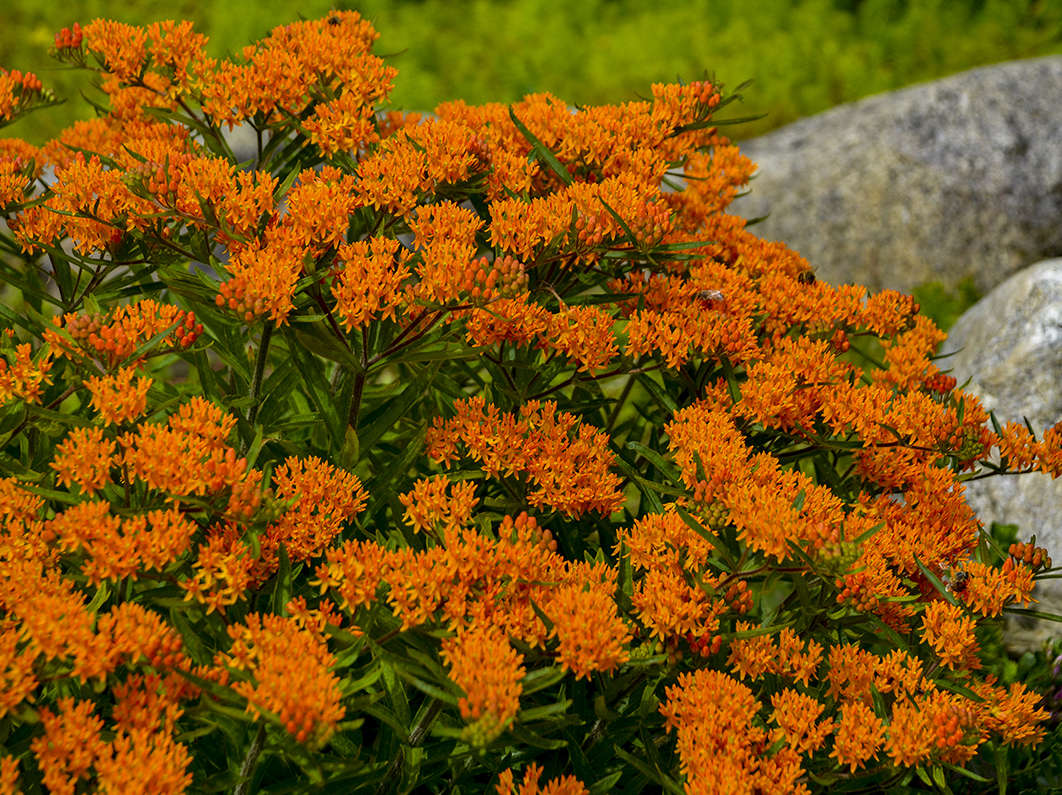 2017 Perennial Plant of the Year — Asclepias <i>tuberosa</i>