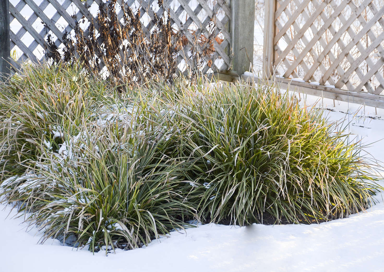 Carex in Winter