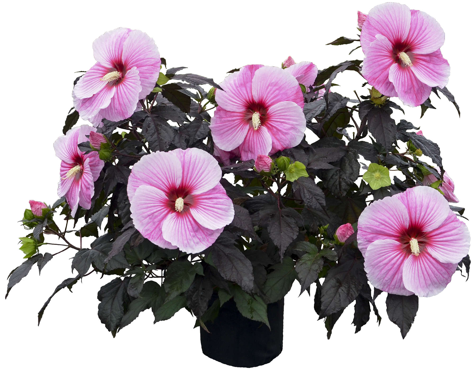 Growing Awesome Hibiscus From Bare Root Walters Gardens Inc