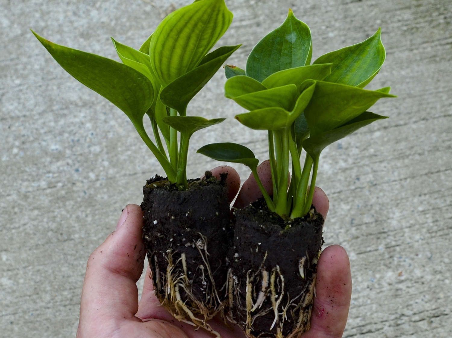 Grower Tips for Hosta Elle Plugs