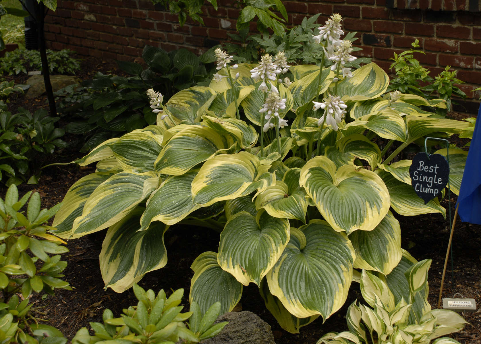 All Hostas Are Not Created Equally Walters Gardens Inc