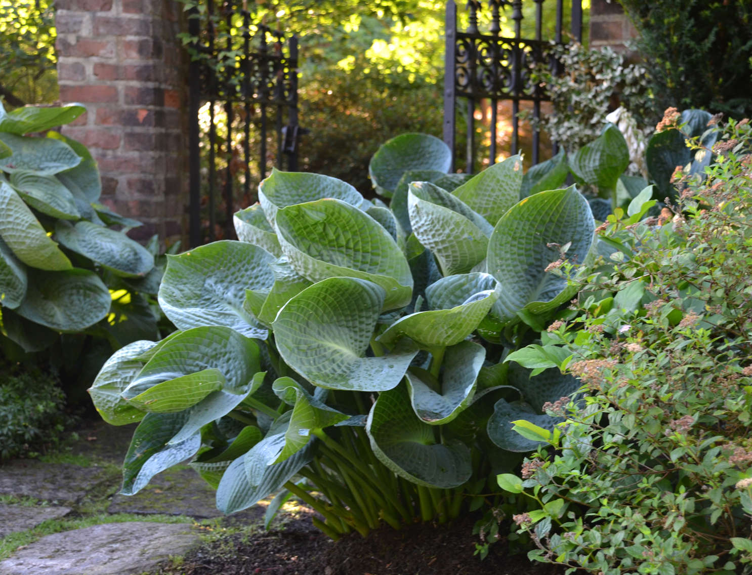 All Hostas are NOT Created Equally