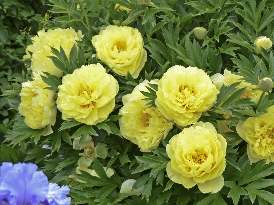 Grower Tips For Garden Intersectional And Tree Peonies Walters
