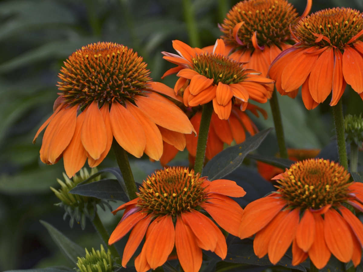 Grower Tips to Overwinter Echinacea Successfully
