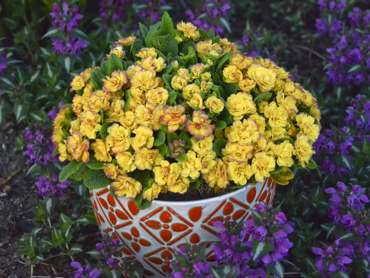 How to Grow and Force Belarina® Primulas