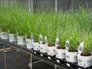 Not All Grasses are Created Equal: Growing Tips