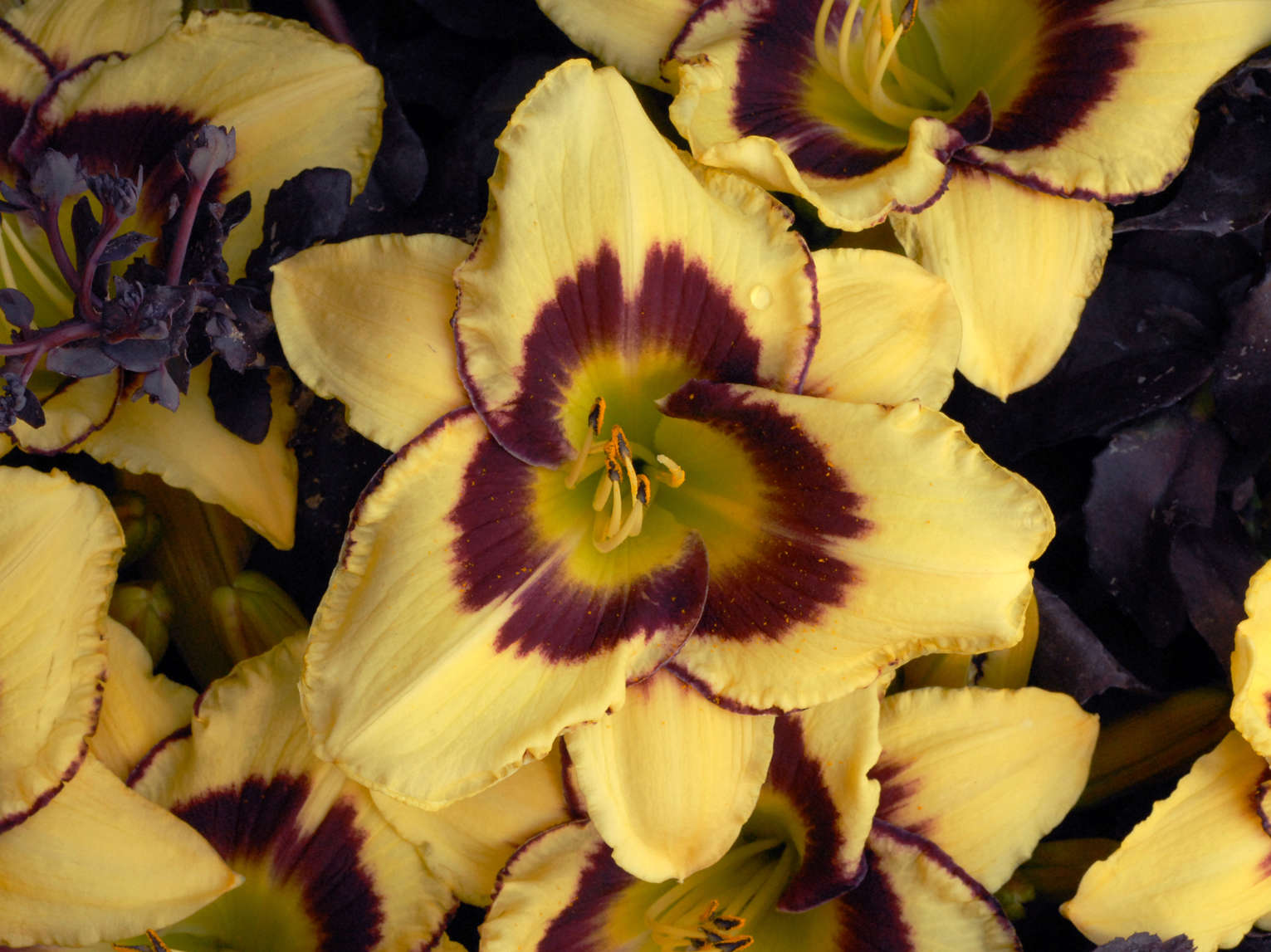 Old v. New – The Benefits of Modern Daylily Hybrids