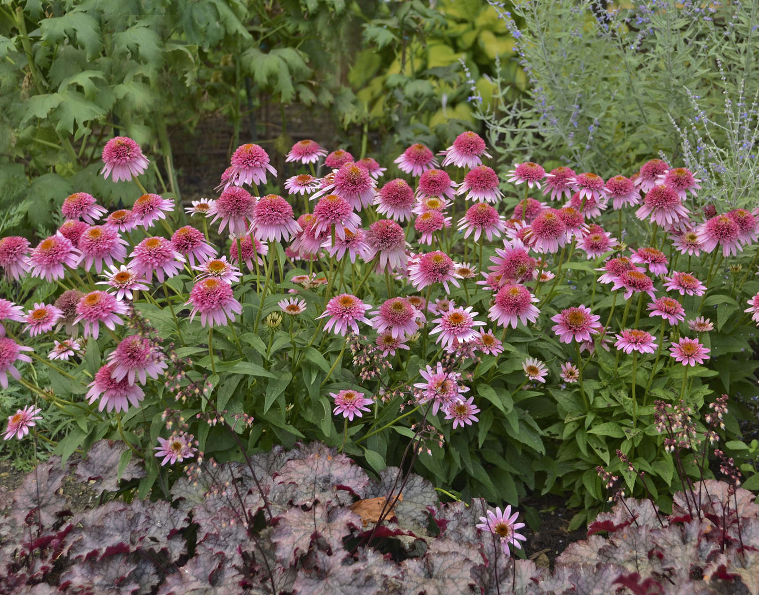 Perennials Demystified Walters Gardens Inc