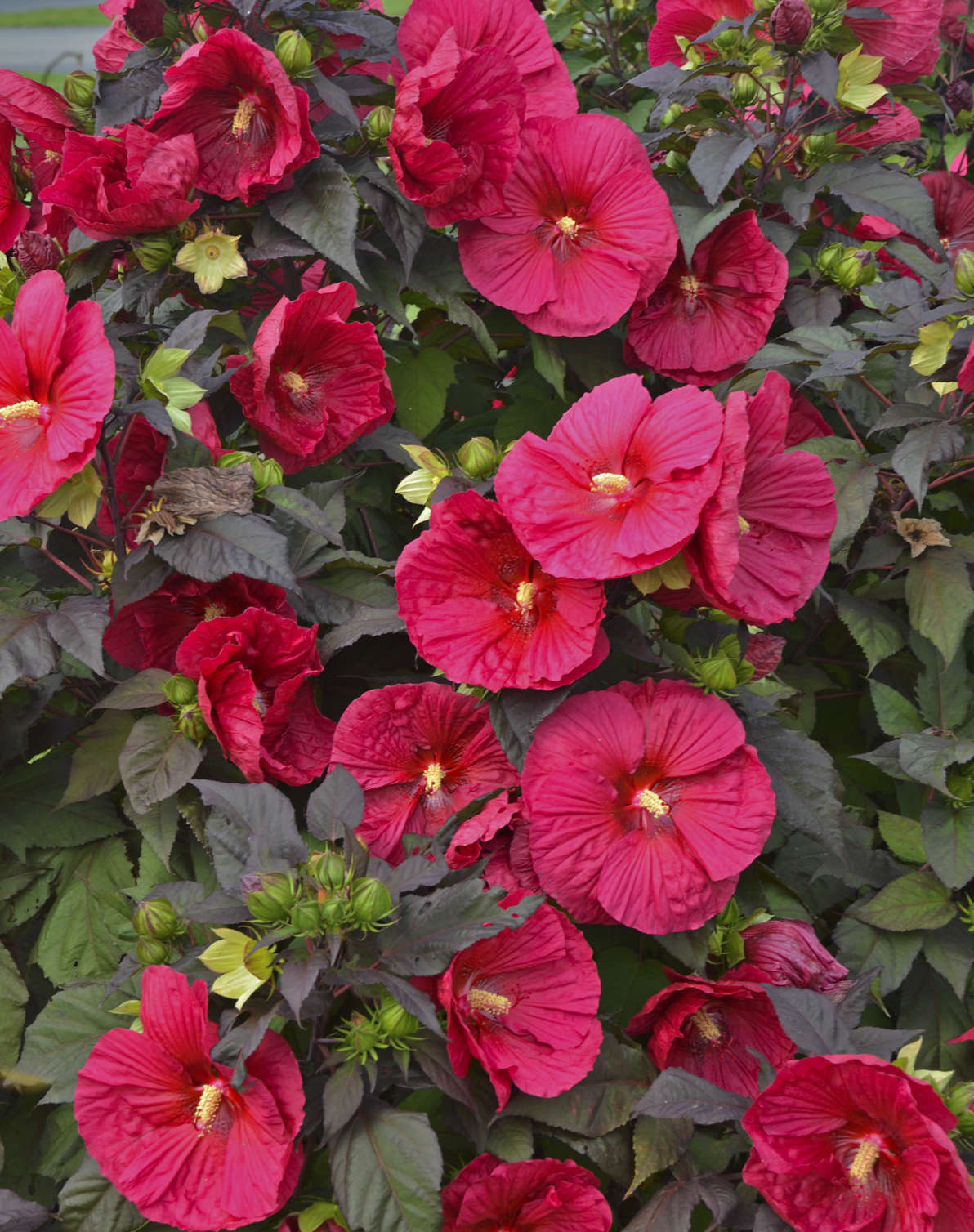 Hibiscus mars madness pp27838 walters gardens inc izmirmasajfo