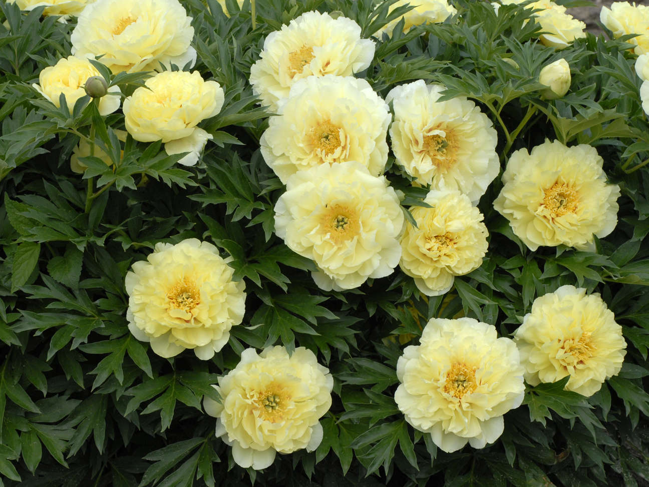 Success With Peonies Walters Gardens Inc