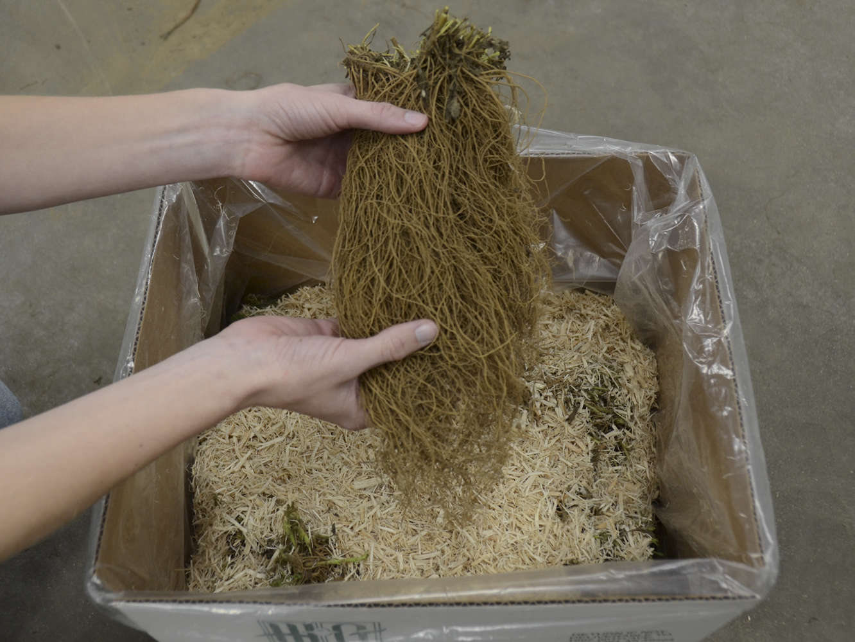 Transplanting Bare Root Perennials